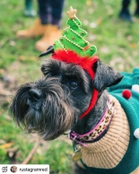 Festive Schnauzer dog walk at Ashton Court on 23 December 2018