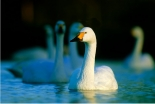 Swan Supper Evenings at WWT Slimbridge Wetland Centre on Friday 11th & Saturday 12th January 2019