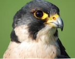Urban Peregrines talk at Bristol Zoo Gardens on Friday 15th February 2019